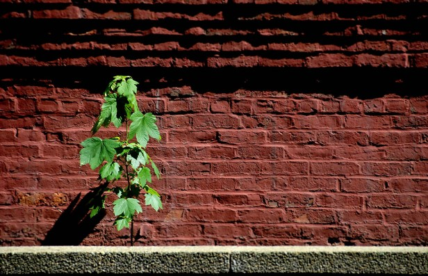 A young green maple sapling thrives in a sunny alley in Boston Massacusetts