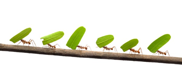 Line of ants carrying leaves